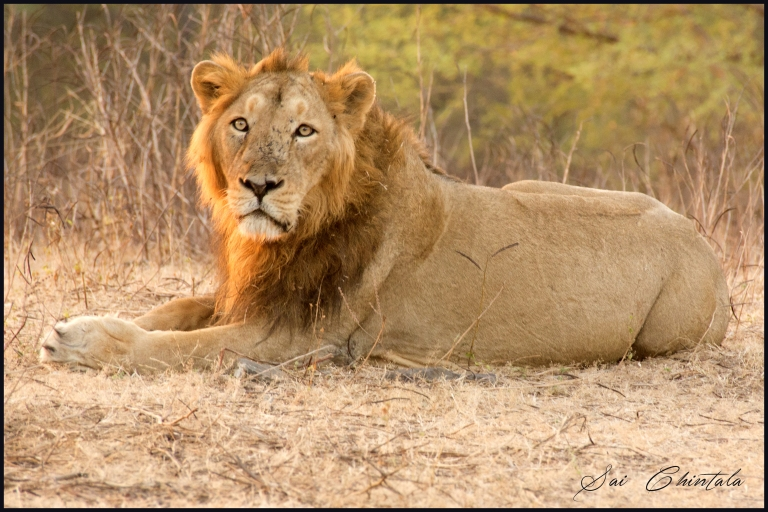 gir lion with signature